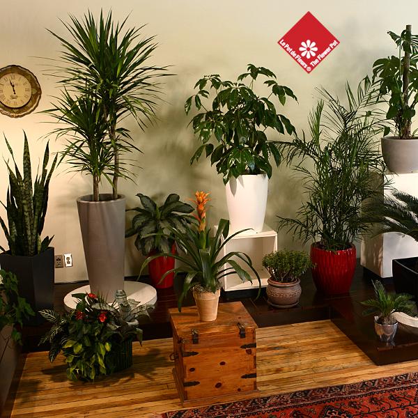 Achat de plantes vertes fleuriste montr al le pot de fleurs for Achat plante verte en ligne