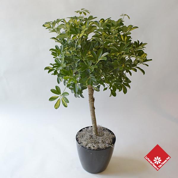 Grandes plantes vertes montr al le pot de fleurs for Grandes plantes vertes