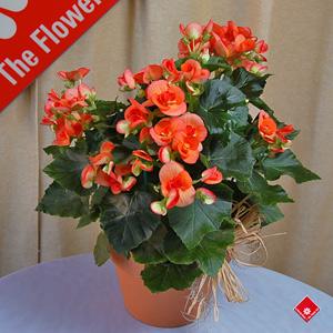 splendide b gonia offrir en cadeau montr al le pot de fleurs. Black Bedroom Furniture Sets. Home Design Ideas
