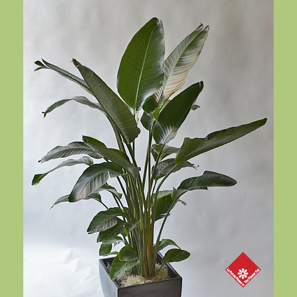 Oiseau de paradis plante d int rieur pour une livraison montr al le pot de fleurs - Plante oiseau de paradis ...