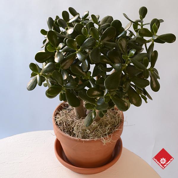 Crassula plante jade ou de l 39 amiti montr al le pot for Plante crassula