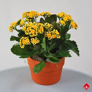 plante verte kalanchoe