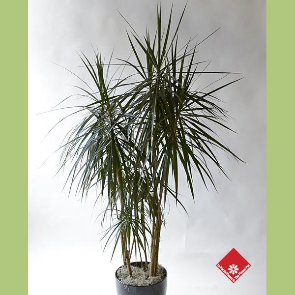 plantes tropicales d 39 int rieur montr al le pot de fleurs. Black Bedroom Furniture Sets. Home Design Ideas