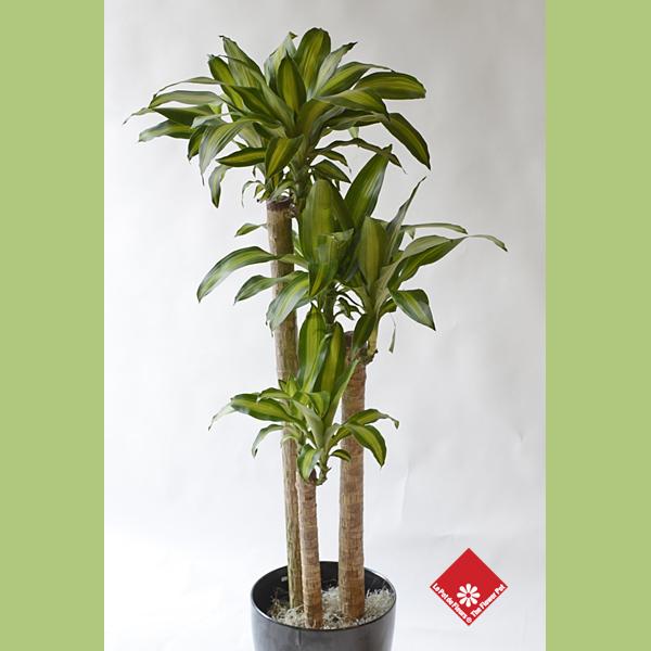 Achat de plantes vertes fleuriste montr al le pot de fleurs for Plantes vertes en ligne