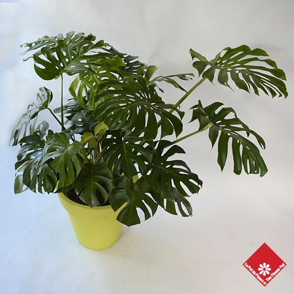 Achat de plantes vertes fleuriste montr al le pot de fleurs for Achat plante