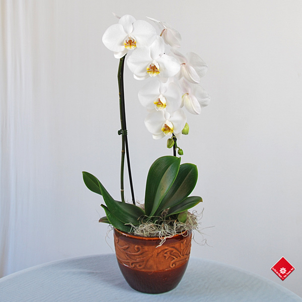orchid e phalaenopsis de chez votre fleuriste montr al le pot de fleurs. Black Bedroom Furniture Sets. Home Design Ideas