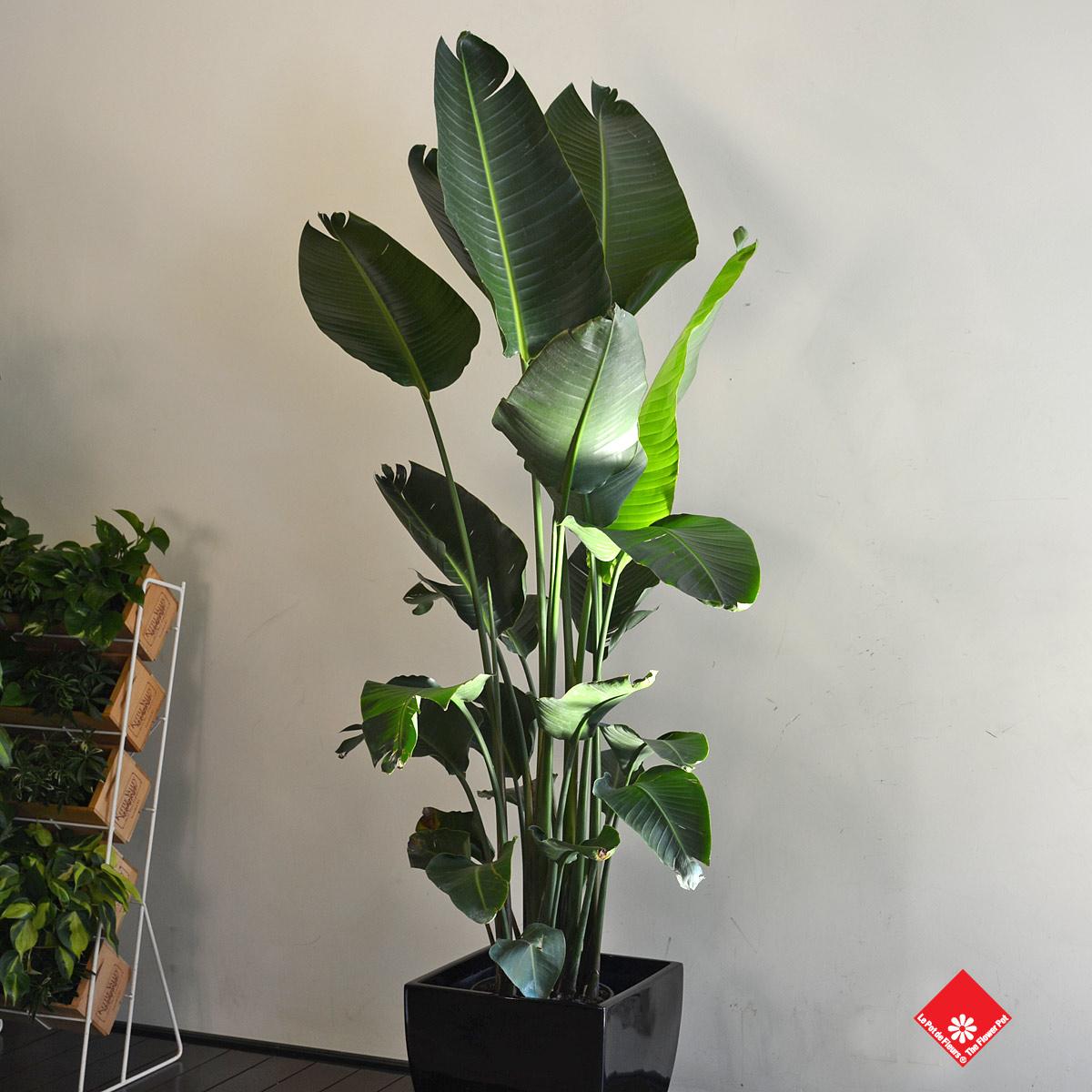 0 salon vert plantes - Oiseau de paradis plante ...