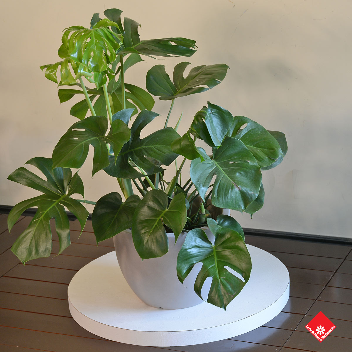 Plante d 39 int rieur monstera deliciosa pour un salon montr al for Plante pour salon