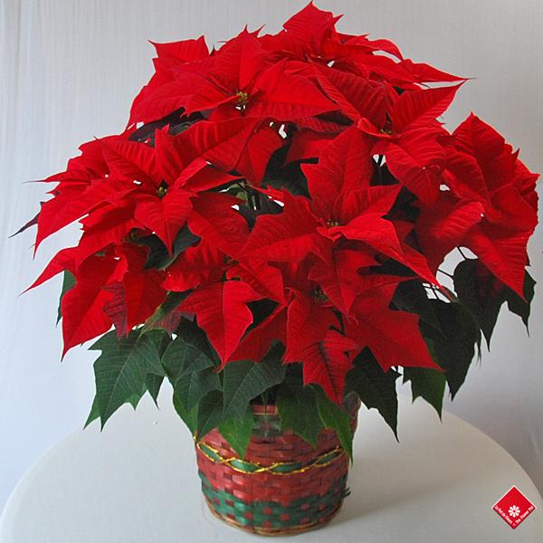 Poinsettia fleur de no l montr al le pot de fleurs for Plante noel rouge