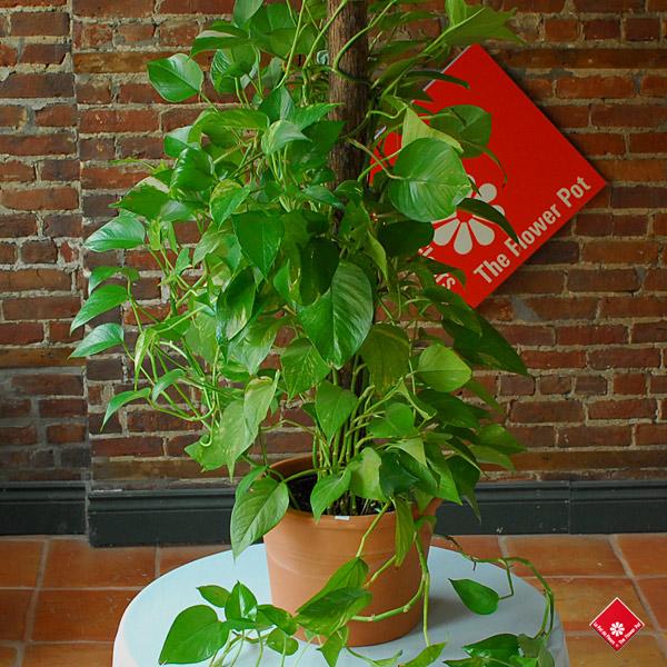 achat de plantes vertes fleuriste montr al le pot de fleurs. Black Bedroom Furniture Sets. Home Design Ideas