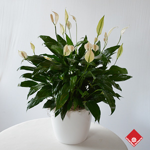 spathiphyllum lys de paix pour livraison des. Black Bedroom Furniture Sets. Home Design Ideas