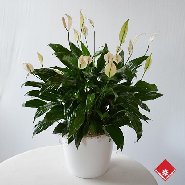 spathiphyllum lys de paix pour livraison des fun railles montr al le pot de fleurs. Black Bedroom Furniture Sets. Home Design Ideas