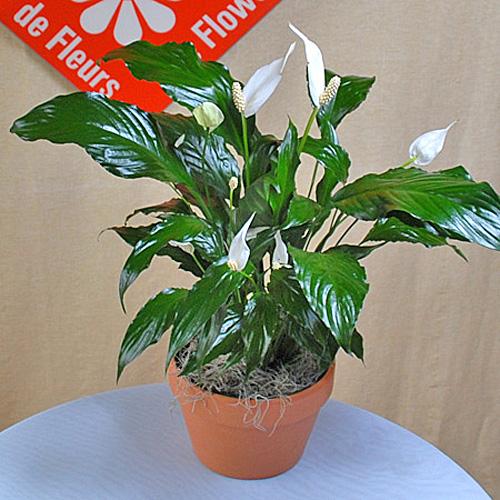 spathiphyllum pour une livraison montr al le pot de fleurs. Black Bedroom Furniture Sets. Home Design Ideas