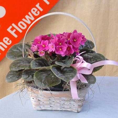 Violette africaine par fleuriste montr al le pot de fleurs for Violette africane
